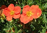 Fingerstrauch 'Red Ace', im Topf / Container 20 - 30 cm