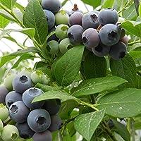 ScoutSeed E0DE 1080 30pcs Highbush Blueberry Vaccinium Seeds Southern Seeds Fruit para el hogar