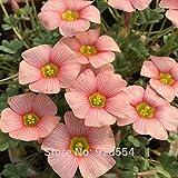 Importierte Glühbirnen, 2pcs/lot kleine Glühbirnen rosa Oxalis stenorrhyncha Samen schöne Blume Bonsai Pflanze DIY Hausgarten # O325