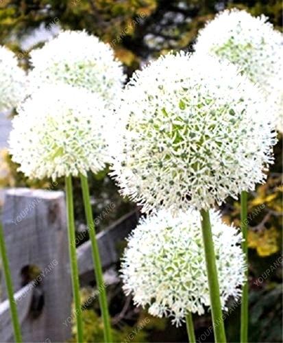 100pcs géant oignon Graines blanc Allium Giganteum Graines de fleurs vivaces fleurs Bonsai plante bricolage jardin