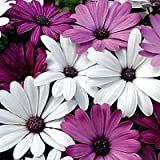 Flower Seeds For Home Garden In India Daisy White Mixed Flower Seeds - Kitchen Garden Pack by Creative Farmer