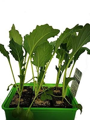 Gartenbau Friedrich Kohlrabi weiß Jungpflanze 6er Pack. Erweitern Sie mit unseren Jungpflanzen Ihren heimischen Gemüsegarten und bauen Sie Kohlrabi Pflanzen selbst an von Gartenbau Friedrich - Du und dein Garten