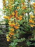 Feuerdorn Pyracantha Orange Charmer 80 cm hoch im 3 Liter Container