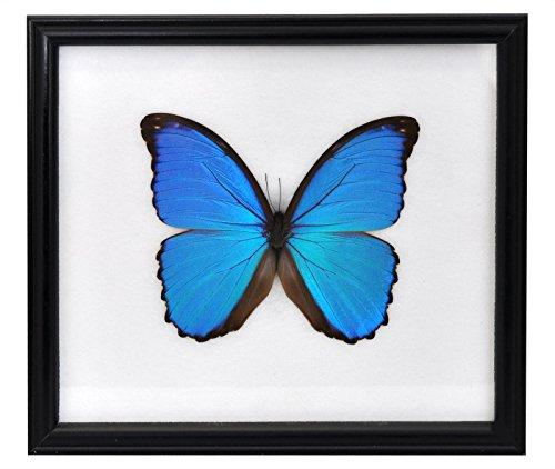 Wilai Schmetterling im Bilderrahmen, Didius Blue Morpho (Morpho didius)