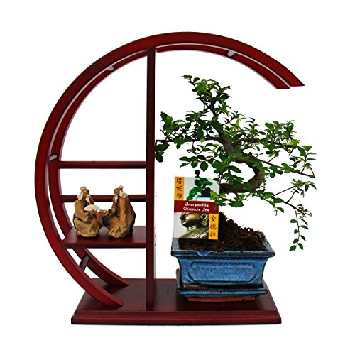 Bonsai - Ulmus parvifolia - Chinese elm on a decorative round shelf - red