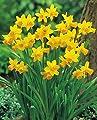 100 Narzissen mehrblütig Tete a Tete Blumenzwiebeln Narcissus von Blumenhandel Ullrich - Du und dein Garten