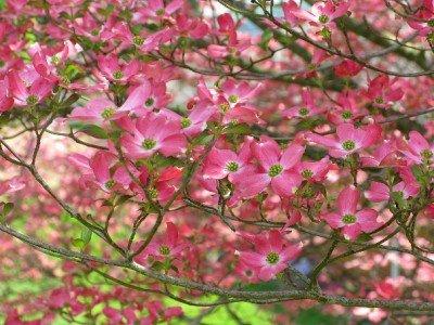 Roter Blumen-Hartriegel,Blütenhartriegel, Red Dogwood 10 Samen (Cornus Florida) (Hartriegel-blumen)