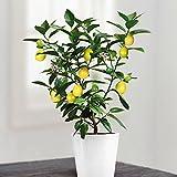 Zitronenbaum - 1 baum