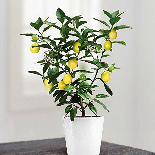 arbre-de-citrus-citronnier-1-arbre