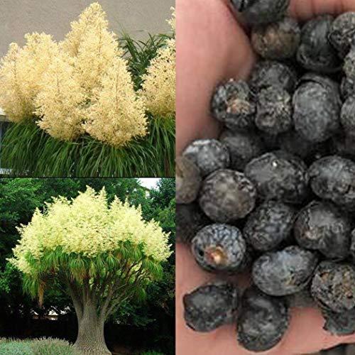 Acecoree Samen Haus Seltene Elefanten Fuß Pferdeschwanz Palm Caudex Pflanzen 100 Samen