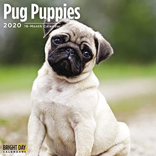Pug Puppies Wall Calendar 2020