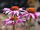 Echinacea Purpurea Magnus Set of 6 x 9cm Potted Perennials (Live Plants)