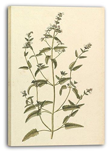 Printed Paintings Leinwand (60x80cm): Anonym, Französisch, 19. Jahrhundert - Botanische Studie mi