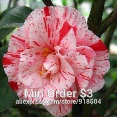 50 pièces / sac, graines de camélia, camélia fleurs graines 24kinds couleur choisi Livraison gratuite