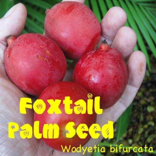 FUCHSSCHWANZ Palme Wodyetia bifurcata FRESH 15 RIESIGE SEEDS VIABLE mit Aloha Grown
