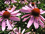 PERENNIAL FLOWER ECHINACEA CONEFLOWER PURPLE 200 FLOWER SEEDS