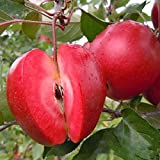 Pinkdose® Davitu 50 Pca/Pack Red-Fleisch Apfelsamen Redlove Apfel Obstbaum Samen Garten Pflanzen