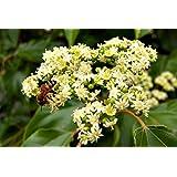 Arbre 150 graines du miel Evodia tetradium danielli apiculture miel