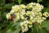 oltre 150 Semi, Albero del miele, Evodia tetradium danielli, Apicoltura, Miele
