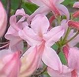 Wilde asiatische Sommergrüne Azalee 40-50cm - Rhododendron periclymenoides