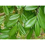 Srushti Traders Lakshmi Taru, Paradise Tree, Simarouba Glauca (500 Leaves)- Cancer Health Suppliment