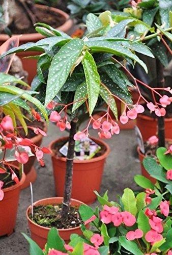 Palmenmann Forellenbegonie (selten) - Begonia Tamaya