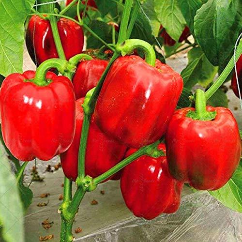 New 100 pièces/sac Divers PIMENT Bonsai tes légumes SDIY jardin légumes rouge 1 ing (graines SEULEMENT)