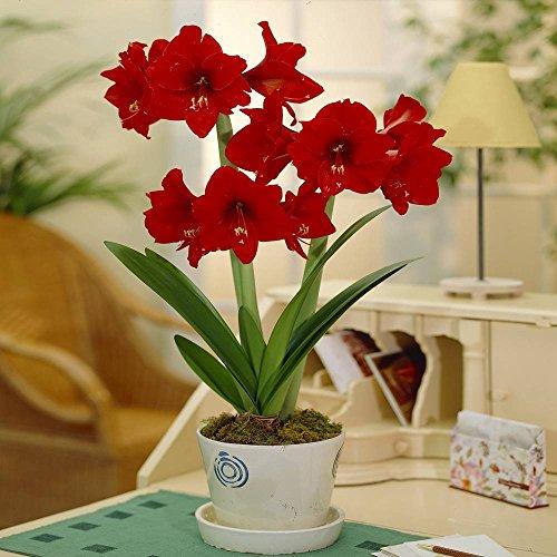 Amaryllis Floris Hekker - 1 bulbe de fleur