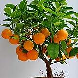Portal Cool Dwarf Meyer Zitrone Limette und Mandarine Citrus Baum-Samen 10 Samen Jede