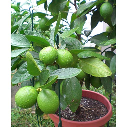Shoppy Star Shoppy étoiles: Bluelans 10Pcs Lime Tropical Seeds Citrus Fruit Tree Farm Balcon Jardin Jardin Plante