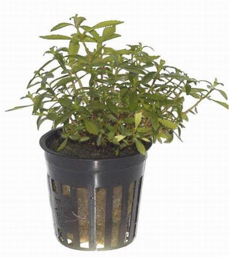 Meerjungfrauenpflanze / Proserpinaca palustris Cuba - 2
