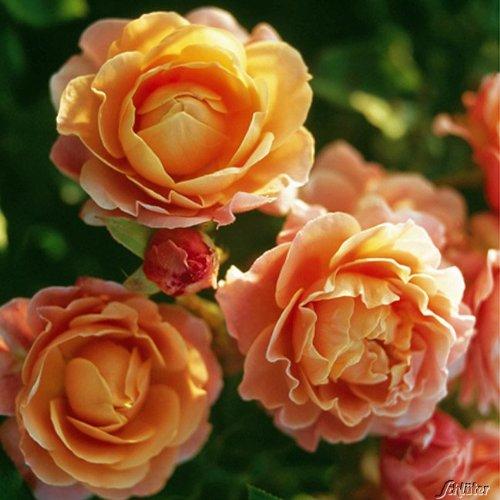 Rose 'Marie Curie®' - Beetrose orange Blüten - Apricot Rose Pflanze Winterhart Halbschattig gesundes Laub - von Garten Schlüter - Pflanzen in Top Qualität