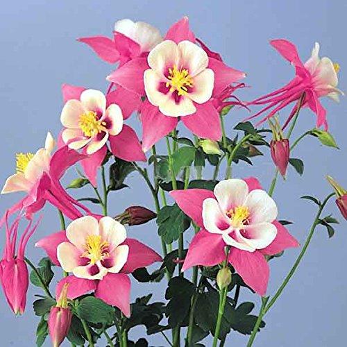 20 semi / pack hardy semi di fiori perenni ombra fiore