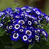 Kisshes Seedhouse - 50pcs Rare 'Marguerites bleues du Cap' 'Santa Anita' grainé fleur jardin plantes vivaces Plantes méditerranéennes pour balcons et terrasses...
