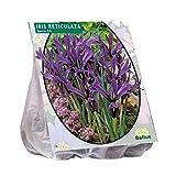 50 Stück Iris Reticulata blau Blumenzwiebel