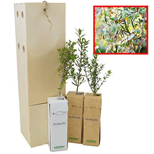 Olivo Silvestre 3 Unidades
