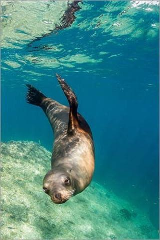 Reproduction sur toile 40 x 60 cm: Adult California sea lion (Zalophus californianus) underwater at Los Islotes, Baja California Sur, M de Michael Nolan / Robert Harding - Reproduction prête à accr...
