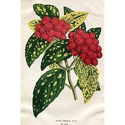 Aucuba Japonica Thumb. foem varieg. Kolorierte Lithographie (aus: La Belgique Horticole. Journal des jardins, des serres et des vergers).