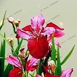 50pcs / bag semillas Iris, semillas de flor de mariposa del iris de plantas bonsái perennes para la siembra jardín de su casa, de fácil cultivo 17