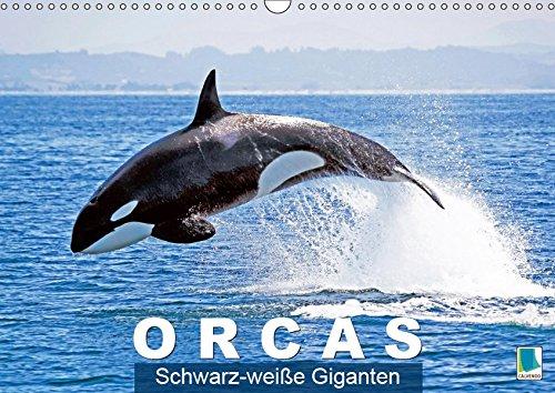 Orcas: Schwarz-weiße Giganten (Wandkalender 2019 DIN A3 quer): Orcas: Majestätische Meeresakrobaten (Monatskalender, 14 Seiten ) (CALVENDO Tiere)