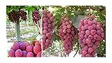 10x F1 Riesen Rote Trauben Vitis vinifera Samen Obst Garten Pflanze #344