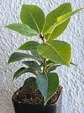 PLAT FIRM GERMINATIONSAMEN: Lorbeer-Baum, Topf, lebende Pflanze, Hoja de Laurel, Blätter für Suppen und Eintöpfe