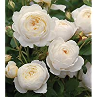 Suchergebnis Auf Amazon De Fur Rosen Bodendecker Nicht Verfugbare