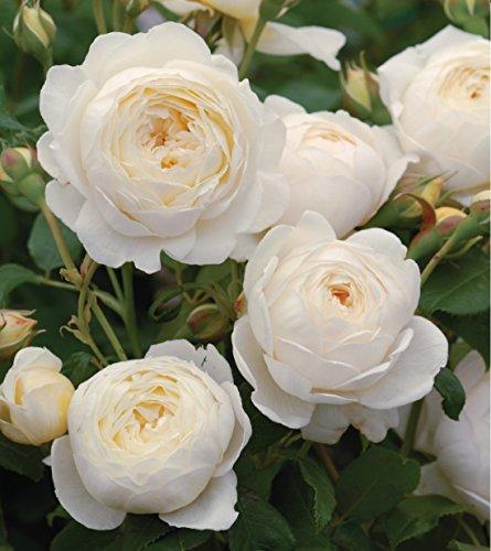 10 Pflanzen wunderschöne Rosa The Fairy WHITE Bodendecker Rosen ca.30cm Winterharte Rose Frosthart weiße Rosen