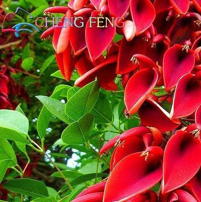 Green Seeds Co. Véritable bonsaï! 50 pcs/lot Erythrina Crista Galli, plantes arbustives brésiliennes belle fleur bonsaï plante bricolage maison jardin shippi gratuit: clair