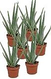 Echte Aloe Vera - im 12cm Topf - ca. 30-40cm hoch (6er Set)