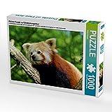 CALVENDO Puzzle Kleiner Panda auf Entdeckungstour 1000 Teile Lege-Größe 64 x 48 cm Foto-Puzzle Bild von Peter Hebgen (CALVENDO Tiere)
