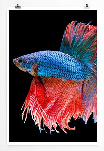 Best for home artprints – fotografia con animali – blu rosso siamese caccia stampa fotografica in qualità nitida, poster arrotolato 60 x 90 cm, poster 90x60cm
