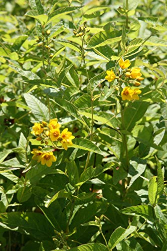 Lysimachia vulgaris - 3 Pflanzen im 0,5 lt. Vierecktopf
