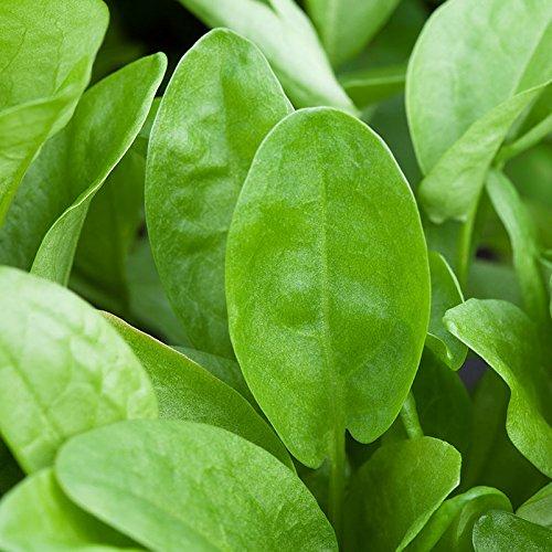Bio Sauerampfer im 12 cm Kräutertopf, Sauerampfer in Bio-Qualität, Sauerampfer, Würzkraut im Topf, Kölle's Bio Sauerampfer (Pflanzung Kräuter-töpfe)
